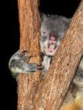 Koala with virus Royalty Free Stock Photos