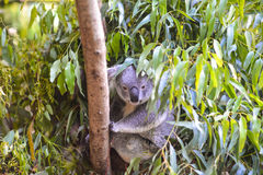 Koala w drzewie Zdjęcia Royalty Free