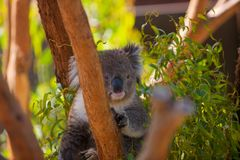Koala w Eukaliptusowi drzewa Obraz Royalty Free
