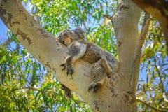 Koala w Yanchep parku narodowym Fotografia Royalty Free