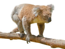 Koala walking Stock Photos