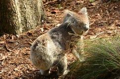 Koala walking on ground Royalty Free Stock Photography