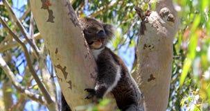 Koala Westelijk Australië stock video
