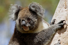 Koala in the wild Royalty Free Stock Images