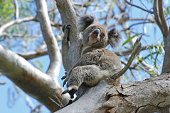 A Koala wild free on Stradbroke Island Australia. Rare capture of Koala in the wild. Taken on Stradbroke Island (haven for Australia's Koalas ) when we were Stock Photos