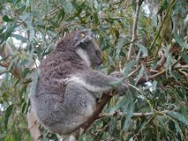 A Koala in the wild nature in a tree Stock Photo