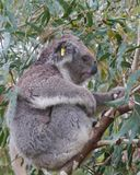 A Koala in the wild nature in a tree Stock Photography
