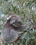 A Koala in the wild nature in a tree Stock Image