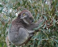 A Koala in the wild nature in a tree Royalty Free Stock Photos