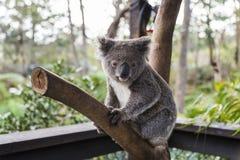 Koala on a wood branch. A koala at australia reptile park and wildlife sanctuary Stock Photos