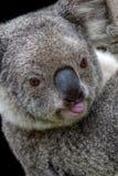 Koala wtyka swój jęzor out zdjęcie stock