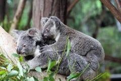 Koala & x28; Phascolarctos cinereus& x29; Fotografia Stock