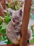 Koala y bebé Fotografía de archivo