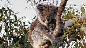 Koala y joey de la madre
