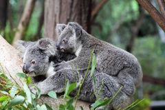 Koala y x28; Cinereus& x29 del Phascolarctos; Fotografía de archivo