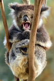 Koala yawning on an eucalyptus tree Royalty Free Stock Image