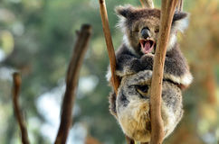 Koala yawning on an eucalyptus tree Royalty Free Stock Photos