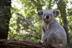 Koala2 Stock Photos