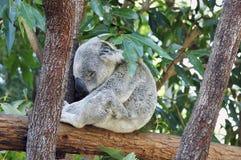 Koalabär Stockfotografie