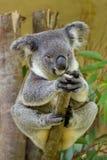 Koalabär Lizenzfreie Stockfotografie
