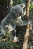 Koalabär stockbilder