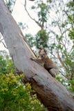 Koalabär, der auf einem Baum klettert Lizenzfreies Stockbild