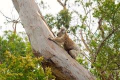Koalabär, der auf einem Baum klettert Lizenzfreie Stockfotos