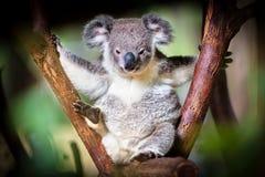 Koalabär, der auf einem Stamm mit grünem und schwarzem Hintergrund sitzt Stockfotografie