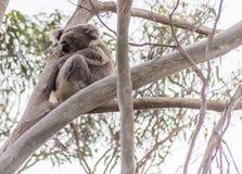 Koalabär, der im Baum stillsteht Lizenzfreies Stockfoto