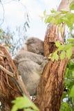 Koalabär, der im Baum stillsteht Lizenzfreie Stockfotos