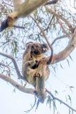 Koalabär, der im Baum stillsteht Stockfotografie