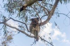 Koalabär, der im Baum stillsteht Lizenzfreie Stockfotografie