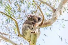 Koalabär, der im Baum stillsteht Lizenzfreies Stockbild