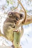 Koalabär, der im Baum stillsteht Stockbilder