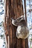 Koalabär, der oben den Baum in Australien klettert Lizenzfreie Stockbilder