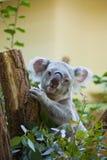 Koalabär im Wald Lizenzfreies Stockfoto