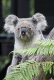 Koalabär (Phascolarctos cinereus) Lizenzfreie Stockfotografie