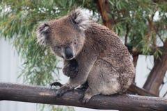 Koalabär Phascolarctos cinereus mit Eukalyptusbaum Stockfotos