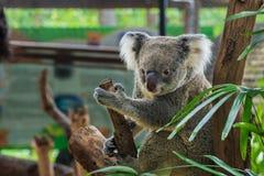 Koalabären, Bären lizenzfreies stockfoto