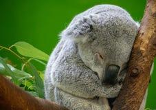 Koalabärnschlafen stockfotografie