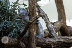 Koalabear mangent maintenant Photos libres de droits