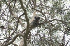 Koalabjörn, Australien Arkivfoto