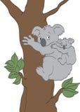 Koalabjörnar Arkivfoto