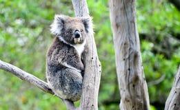 Koalabär in Melbourne Lizenzfreie Stockfotografie