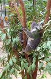 Koalafamilj Fotografering för Bildbyråer