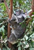 Koalafamilj Royaltyfri Foto