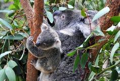 Koalafamilj Arkivbild