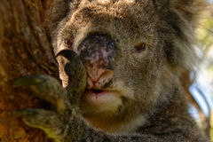 Koalagesicht lizenzfreie stockbilder