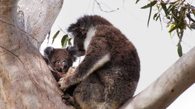 Koalajoey und -mutter stock video footage
