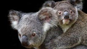 Koalamoeder het dragen joey op haar terug royalty-vrije stock foto